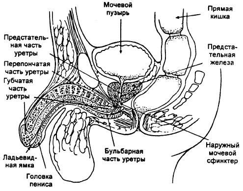 влагалищной дистопии наружного отверстия уретры-мт1